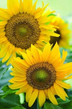 A cheerful, dwarf sunflower with large single 12 yellow flowers. Growing only to it is just the right size for a kids garden, containers, or raised beds. Dark brown centers produce edible see… Dwarf Sunflowers, Sunflowers And Daisies, Yellow Flowers, Sun Flowers, Yellow Plants, Exotic Flowers, Happy Flowers, My Flower, Beautiful Flowers