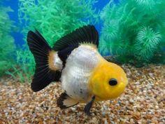 Lot# 9303 Black & White Oranda with Lemon Head (5 inches) goldfishnet.com