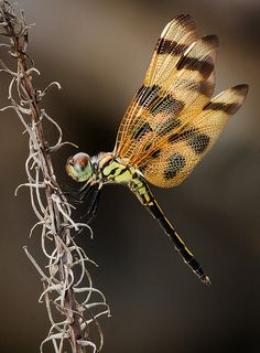 ✯ Halloween Pennant Dragonfly: Photographed at Fairchild Tropical Botanic Garden in Miami .. By Pedro Lastra ✯