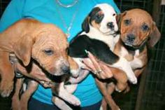 The Motley Crew (2M, 1F) is an adoptable Beagle Dog in Chipley, FL. The Motley Crew are three 6 to 8 week old Beagle/Hound mix pups, 2 red males and 1 tri-colored female, weighing about 5 pounds. Each...