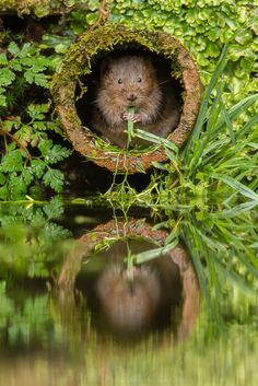 Water Vole - A Pipe Dream by Rob Cain