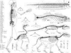 Owen's concept (1848) of the vertebrate Archetype. His coded legend shows to what parts of the ideal vertebra each part of each skeletal element corresponds.