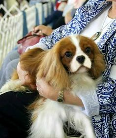 The sweetest of all lapdogs - Cavaliers
