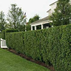 Plant large, sprawling deer repellent varieties such as thick hedges of boxwoods or short needle spruces around the borders of your garden | thisoldhouse.com | from 20 Ways to Keep Deer Out of Your Yard