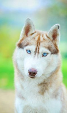 16 Best Siberian Husky Pictures http://animalpictures.co/16-magnificent-pictures-of-siberian-huskies.html