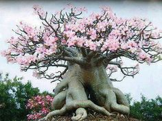 Adenium Bonsai - Desert Rose - they grow in a way that looks like a Bonsai tree, but it just happens naturally. Socotra, Weird Trees, Unique Trees, Old Trees, Nature Tree, Nature Plants, Tree Forest, Plantation, Desert Rose