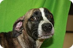 Naveah - URGENT - DOGS AT THIS SHELTER ARE ONLY HELD FOR A SHORT AMOUNT OF TIME - - Labrador Retriever/Boxer mix - 1 yr old - Vermilion County Animal Shelter - http://www.vercounty.org or www.vcasf.org  https://www.facebook.com/pages/Vermilion-County-Animal-Shelter-Offical-Page/430341230365347?ref=ts&fref=ts http://www.adoptapet.com/pet/10039546-danville-illinois-labrador-retriever-mix