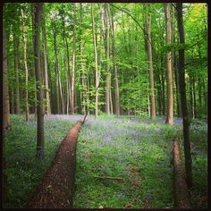 Bois de Halle/Hallerbos. Last of the bluebells on todays ride. #cycling #belgique