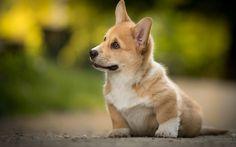 Lataa kuva Welsh Corgi, söpöjä eläimiä, pentu, blur, koirat