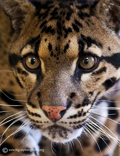 Clouded Leopard – a thing of natural beauty by bigcatphotos UK, via 500px