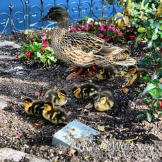 Baby ducks at Disneyland!