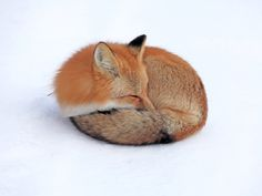 Little curled up fox