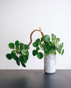 Maria Bergström (@thehiddenadventure) op Instagram: 'Update on the crazy pilea - even crazier! It has grown so much during the summer, (if you go back…'
