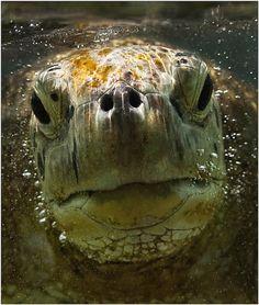 Sea Turtle,closeup