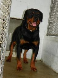 FOSTER NEEDED ~~ NEW YORK ~~ Mountain Rottie Rescue of New York, Oneonta, NY  518 406 3039 ~~ Romeo - foster needed is an adoptable Rottweiler Dog in Oneonta, NY. Oh...My love.. my Romeo. Obviously he is quite the handsome guy. He is extremely shy & very sweet. He gets along GREAT with both ma...