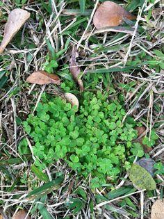 Woodsorrel Common Broad Leaf Weeds Found In Savannah Georgia Lawn