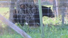 FWP busy with bear sightings in Missoula Valley | Missoula Local News - NBCMontana.com