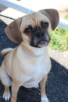 The Puggle.  Although not an official dog breed, it is a mixture of two of my other favorites, so the puggle's in!  I like the fact that they keep the distinctive beagle bay.