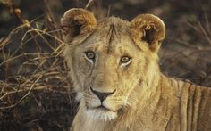 lion free backgrounds desktop