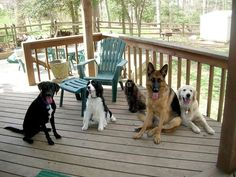 Dogs    Photograph by Scott Santulli    All dogs are descended from wolves, and like wolves, they are pack animals.