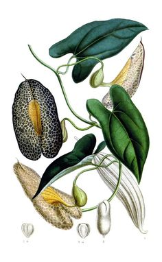 Aristolochia odoratissima (synonym: Aristolochia picta) From Flore des Serres et des Jardins de l'Europe (Flowers of the Greenhouses and Gardens of Europe) vol. 5, by Charles Lemaire, Michael Scheidweiler, and Louis van Houtte, Ghent, 1848. A zip file containing the six illustrations of the latest series can be downloaded at this link. (Source: archive.org)