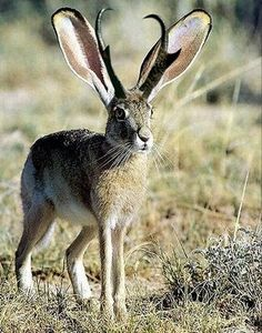 """The jackalope is a mythical animal of North American folklore (a so-called """" fearsome critter"""") described as a jackrabbit with antelope horns or deer antlers.  Some say they do not exist!"""