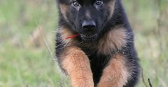 "Dogspuppiesforsalecom liked | german shepherd #puppy - ""They told me I'd grow in to my ears and feet one day!  I am SOOOOO excited!"" Getting a dog or a puppy as a new addition to your family is an excellent decision! You're adding another member that can provide lots of love and enjoyment! This is a relationship you'd want to make sure that you're doing right the first time around. You'll need to find out what makes your dog happy what are the things to look out for and basically how to give…"