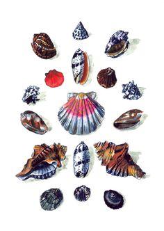 Seashell Botanical Plate - Giclee Print of Original Watercolor 8 x 10 - Nautical Coastal Living Shell Diagram Beach House