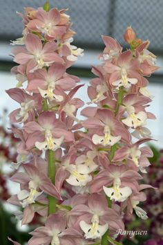 Newly Bloomed Spring Calanthe 2014 (oziko's selection)