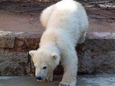 Eisbären im Rostock Zoo