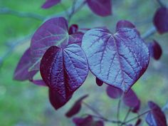 New leaves of Forest Pansy redbud are wonderfully glossy. They fade to reddish-green through the heat of summer.