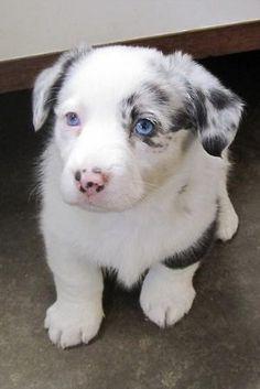 Cardigan Corgi Puppy by jody