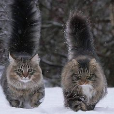 "Border patrol. Must be cold, both are fluffed to the max. Either sibs or a lucky pair, the markings on this pair, are gorgeous. The male has a nice blaze on his chest, the female has a ""got milk?"" Mustache. Very nice pair of Maine Coons."
