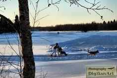 Pohjoishaara,Pyhäjoki, Kaukonranta,potkukelkka vetokoira, jää, talvi
