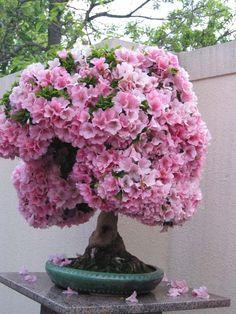 Japanese Cherry Blossom Bonsai Tree | Bonsai çiçeği bonsay olarak da bilinir. Anlamı Japonca da ' bon ...