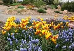 "May 12, 2010 via http://prairiebreak.blogspot.com/2015/03/kendrick-lake.html ""Tulipa chrysantha and Muscari 'Valerie Finnis'"""