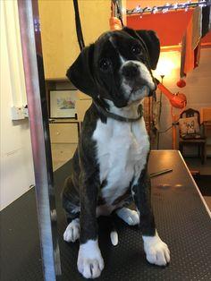 Boxer Puppy Brindle & white
