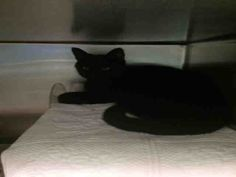 LIGHTNING - A1039344 - - Brooklyn  ***TO BE DESTROYED 06/17/15*** PERFECTLY HEALTHY HOUSE PANTHER LIGHTNING WILL BE KILLED ALL BECAUSE HE IS AFRAID!! LIGHTNING was dumped in the shelter for ALLERGIES. He lived with a family that has small children as young as 8 months old. He was said to play gently with them and if they got too rough he would quietly walk away. YET THE ACC HAS THIS CAT RATED EXPNOCHILD!!!! This is a perfect example of how the behavior ratings in this shelt
