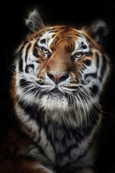 Siberian Tiger - Great Photo !