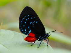 Seek out the amazing Atala butterfly. With its electric-blue and Chinese-orange colors, it's one of the most vibrant denizens of the Northern Bahamian dry forests.