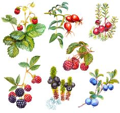 Backyard Berries: 5 Fruits You'll Only Find Through Friends & Foraging — Jewels of June — Kitchn Growing Raspberries, Blackberries, Wild Strawberries, Bush Drawing, Elderberry Shrub, Forest Fruits, Fruits Drawing, Wild Forest, Watercolor Paintings