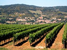 Vignoble Blanquette Limoux - white wine, usually sparkling, produced in the area. Limoux, France