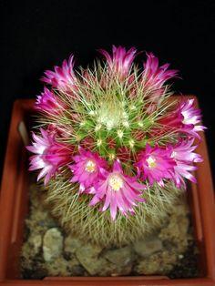 Mammillaria_backebergiana_