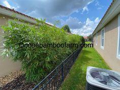 Juno Beach, Hallandale Beach, City Beach, Bamboo Plants For Sale, Ocoee Florida, Temple Terrace, Clumping Bamboo, Neptune Beach, Royal Palm Beach