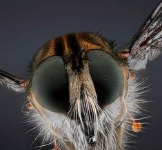 256 отметок «Нравится», 7 комментариев — Bassam Ali (@bassamali6911) в Instagram: «#الذباب_السارق Camera:6D Flash: USED lens:Mp-E 65mm Shutter Spedd:1.100 F 3.5 ISO: 250 Images…» Horse Fly, Macro Photography, Mammals, Bugs, Insects, Creatures, Horses, Animal, Horse