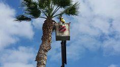 Aplicando sellador tras la poda de palmera tipo Washingtonia