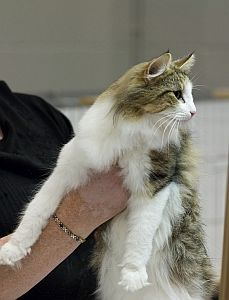 Norwegian Forest Cat -- Big, beautiful and inquisitive