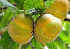 Elephant Apples -- Fruits of the Dillenia indica tree