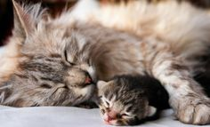 Finding the right cat breeder takes time and research, but the effort is well worth it! Here are a few tips on finding a reputable cat breeder. Cute Kittens, Cat Having Kittens, Cute Baby Cats, Cats And Kittens, Baby Kitty, Baby Animals, Funny Animals, Cute Animals, Animals Images