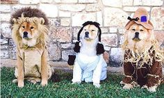 Dogs wearing Wizard of Oz costumes for Halloween.